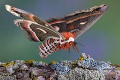 Cecropia moth landing on branch stock photography