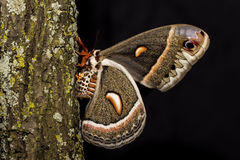 Cecropia Moth laying eggs Stock Photo