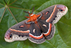 Cecropia moth on maple leaf. A cecropia moth is sitting on a huge maple leaf Stock Photos