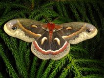 Cecropia moth Royalty Free Stock Photo