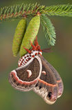 Cecropia moth on pine cone Stock Photo