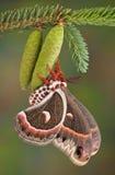 Cecropia moth on pine cone
