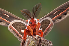 Cecropia Moth Portrait Stock Images