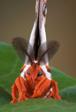 Cecropia moth portrait. A cecropia moth is sitting on a maple leaf facing the camera Stock Photography