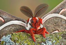Cecropia moth waving Royalty Free Stock Images
