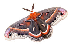 Cecropia moth on white Royalty Free Stock Photography
