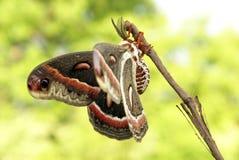 Cecropia-Motte lizenzfreies stockfoto