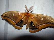 Cecropia-Motte lizenzfreie stockbilder