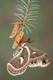 Cecropia on pine Stock Photo