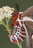 Cecropiamot van het eierleggen Stock Foto's