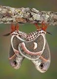 cecropias που ζευγαρώνουν δύο Στοκ Εικόνα