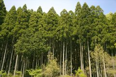 Cedar. NATURE IMAGE-beautiful ceder trees with blue sky royalty free stock photos