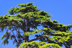 Cedar Royalty Free Stock Image
