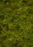 Cedar background. Cedar background close-up picture 1 Stock Photos