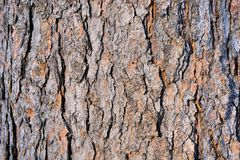 Cedar bark. Abstract background. Stock Photography