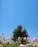 Cedar Behind Pink Flowers. A cedar tree against a clear blue sky with pink flowers in the foreground. This tree is also called Cedar of the Lord and is the Stock Image