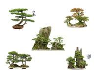 Cedar bonsai Stock Photo