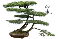 Cedar bonsai : impression Royalty Free Stock Images