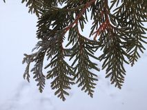 Cedar bough against snow Royalty Free Stock Photo