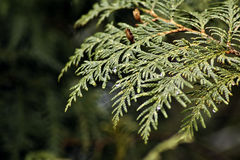 Cedar boughs Stock Photography