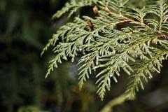 Cedar boughs Stock Photography