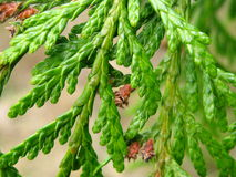 Cedar Branch Stock Photography