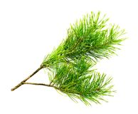 Cedar branch Stock Images