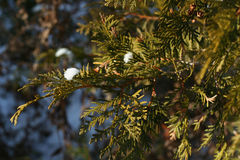 Cedar branch. With bits of snow during a warm sunny winter day, narrow focus Stock Images
