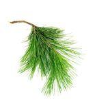 Cedar branch Royalty Free Stock Image