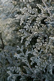 Cedar branch. Frost on a cedar branch Stock Photos
