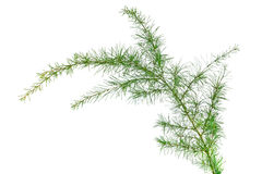 Cedar branch Royalty Free Stock Photo