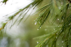 Cedar Branch. Royalty Free Stock Image