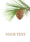 Cedar branch with cone Royalty Free Stock Photography