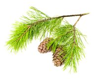 Cedar branch with cones Stock Photography
