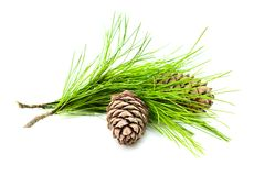 Cedar branch with cones Royalty Free Stock Photography