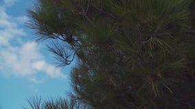 Cedar branch shaking in wind in front of blue sky stock footage