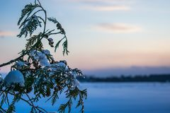 A cedar branch with snow and ice. Covering it against a background of snow, trees, and sky Royalty Free Stock Photo