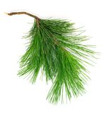 Cedar branch on white isolated Royalty Free Stock Photo