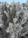 Cedar Branches in frost and sn Royalty Free Stock Photos