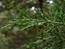 Cedar branches Stock Image