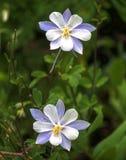 Cedar Breaks Flora foto de stock royalty free
