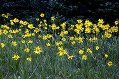 Cedar Breaks Flora fotografia de stock royalty free