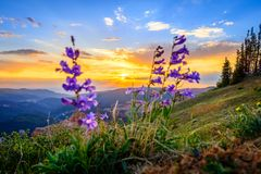 Cedar Breaks sunset. Sunset with flowers in the foreground overlooking Cedar Breaks National Monument, Cedar City, UT Royalty Free Stock Image