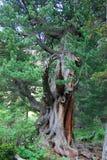Cedar (Cedrus) Royalty Free Stock Photography