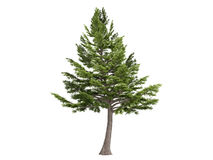 Cedar_(Cedrus_libani) Stock Photography