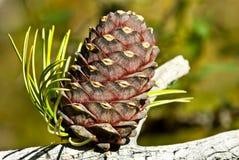 Cedar cone Royalty Free Stock Images