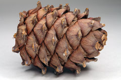 Cedar cone Stock Photography