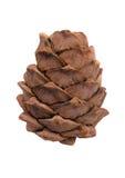 The cedar cone Royalty Free Stock Image
