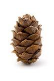 Cedar cone Stock Photography