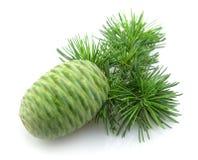 Cedar with the cone Stock Photos